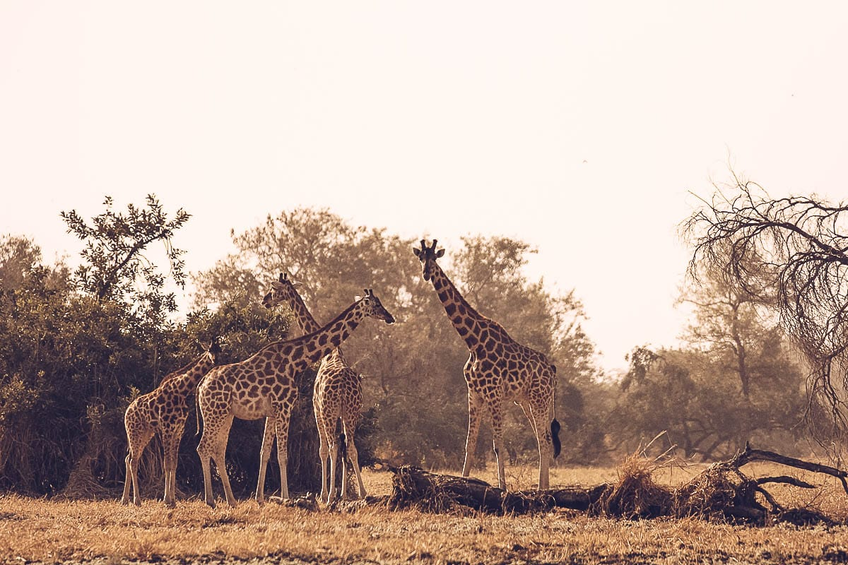 Saving Kordofan giraffe in Chad