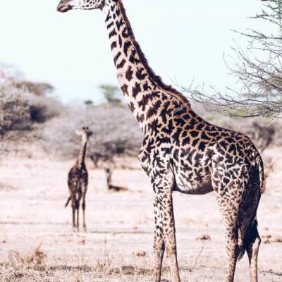 masai giraffe in ea_gcf_stock-11
