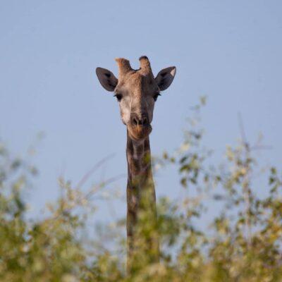Bull giraffe on Hoarusib plains